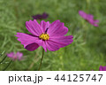 秋桜 コスモス 花の写真 44125747