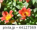 ポーチュラカ(花滑りひゆ) 44127369