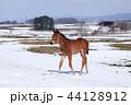 仔馬 子馬 馬の写真 44128912