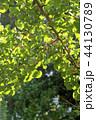 銀杏 木の実 果実の写真 44130789