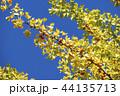 イチョウ 銀杏 44135713