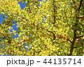 イチョウ 銀杏 44135714