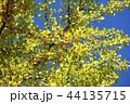 イチョウ 銀杏 44135715