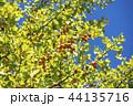 イチョウ 銀杏 44135716