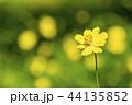 キバナコスモス 44135852