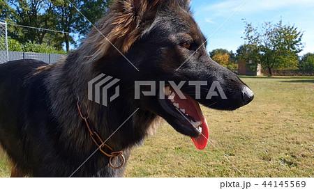 Beautiful young german shepherd dog curious looking at the camera 44145569