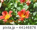 ポーチュラカ(花滑りひゆ) 44146876