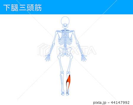 下腿三頭筋4 44147992