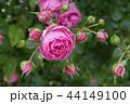 ポンポネッラ バラ 薔薇の写真 44149100