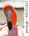 フラミンゴ 鳥類 鳥の写真 44151417