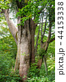 巨木 巨樹 ネズコの写真 44153338
