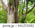 巨木 巨樹 ネズコの写真 44153382