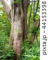 巨木 巨樹 ネズコの写真 44153398