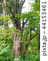 巨木 巨樹 ネズコの写真 44153461