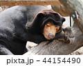 マレーグマ 熊 上野動物園の写真 44154490