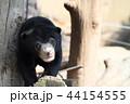 マレーグマ 熊 子供の写真 44154555