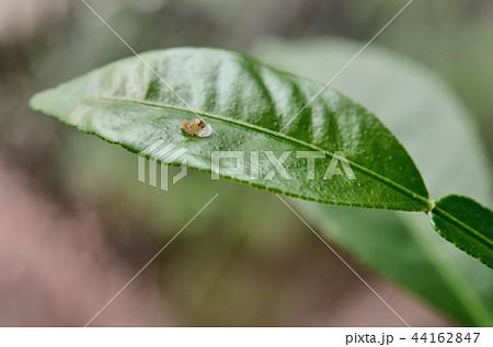 ナミアゲハの孵化(卵の殻を食べているところ。キンカン) 44162847