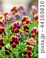 ビオラ 三色菫 花の写真 44169810
