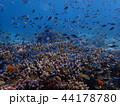 枝サンゴとスズメダイの群れ 44178780