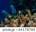 キンギョハナダイと枝サンゴ 44178784