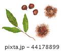 実 栗 毬栗のイラスト 44178899