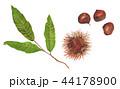 実 栗 毬栗のイラスト 44178900