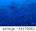 ギンガメアジの群れ 44179061