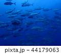 ギンガメアジの群れ3 44179063