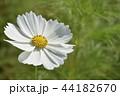 コスモス 花 白色の写真 44182670
