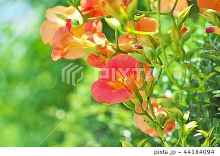 オレンジ色のノウゼンカズラの花 44184094