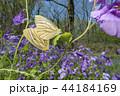 スジグロシロチョウ チョウ 蝶の写真 44184169
