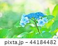 花 紫陽花 あじさいの写真 44184482