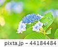 花 紫陽花 あじさいの写真 44184484