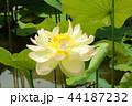 蓮の花(2) 44187232