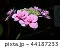 紫陽花(1) 44187233