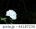紫陽花(3) 44187236