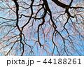 桜 花 春の写真 44188261