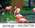 ベニイロフラミンゴ フラミンゴ 鳥の写真 44190736