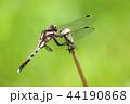 ムギワラトンボ トンボ 昆虫の写真 44190868