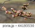 植物 桜 河津桜の写真 44193530