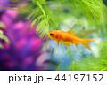 金魚 魚 泳ぐの写真 44197152