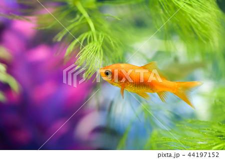 金魚 44197152