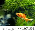 金魚 魚 泳ぐの写真 44197154