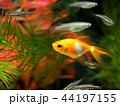 金魚 魚 泳ぐの写真 44197155