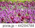 フラワー 花 紫の写真 44204788