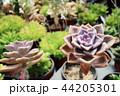 さぼてん サボテン 仙人掌の写真 44205301
