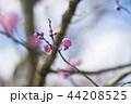 梅 花 梅の花の写真 44208525