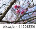 梅 花 梅の花の写真 44208550