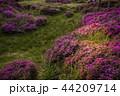 ミヤマキリシマ 44209714
