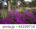 ミヤマキリシマ 44209716